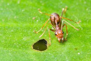 Ant on a green leaf