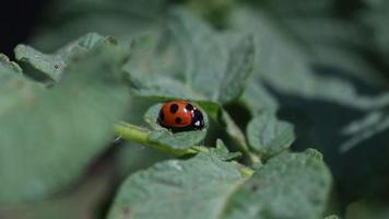 coccinelle video