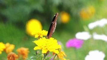Acercamiento de mariposas encaramado sobre flor amarilla en el jardín video