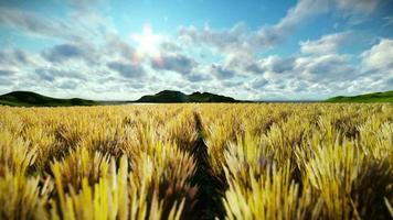 campo de trigo contra bela manhã timelapse, câmera mosca