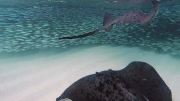 Big stingray video