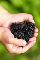 Ripe blachberries in the children hands closeup
