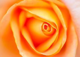 Very soft romantic shot of orange rose