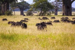 búfalos del cabo en tanzania