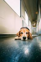 Perro de transporte en vagón de tren foto