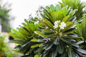 Plumeria (frangipani) flowers on tree photo