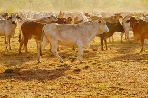 Australian Cattle photo