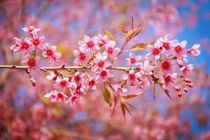 linda flor de cerejeira