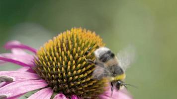 uma grande abelha rastejando nas coneflowers