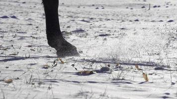 câmera lenta: cavalo andando em campo nevado