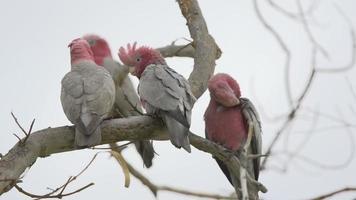 grupo de cacatuas de gangue em uma árvore em Kalbarri, Austrália Ocidental video