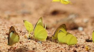 borboletas comem minerais no solo, selecione o foco.