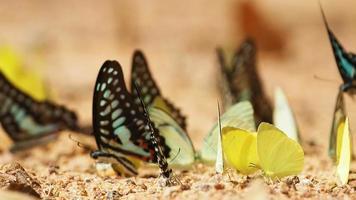 borboletas são comidas minerais no solo. selecione o foco.