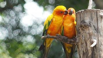 casal fofo grupo de pássaros papagaio-do-sol no galho de árvore, clipe de hd video