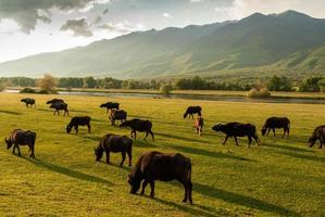 búfalos en Grecia