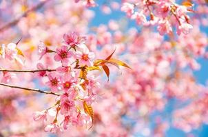 flor rosa sakura florescendo