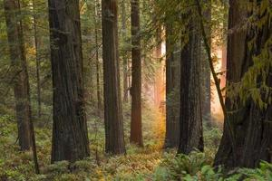 Mystical glow in redwood grove