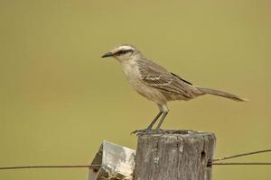 Chalk-browed mockingbird, Mimus saturninus photo