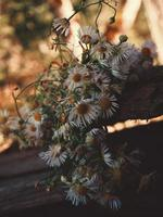 Daisies outside on a plank