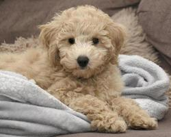 Poochon puppy on blanket