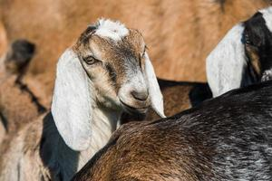 South African boer goats