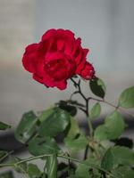 la flor de una rosa foto