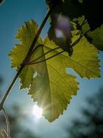 sol brillando a través de la vid foto