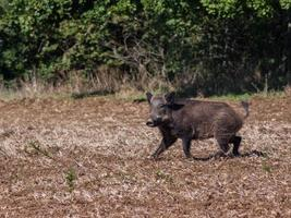 A running boar photo