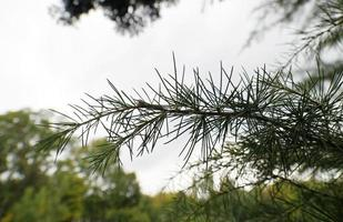 Conifer twig with needles