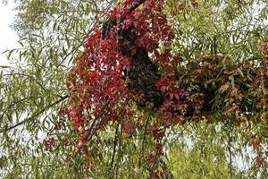Parasite plant with red leaves hanging on willow tree