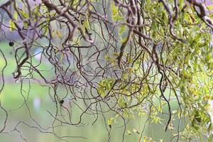 Wavy tree twigs with leaves