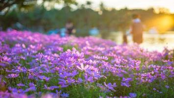 flores rosadas del cosmos