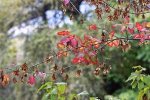 rama de arce en otoño