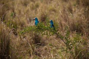 Turquoise birds on a branch
