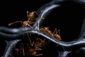 Red Ants or Oecophylla smaragdina photo