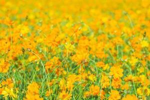 fondo de campo de flores de color amarillo anaranjado