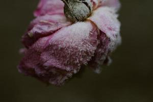 Frozen pink flower