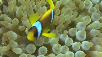 pez anémona del mar rojo