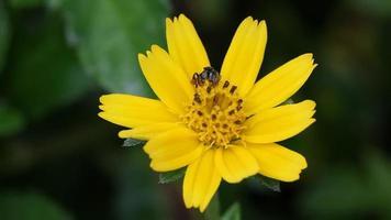 Schwebfliege auf kleiner gelber Blume