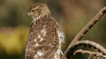 Cooper's Hawk On Branch Close Up video