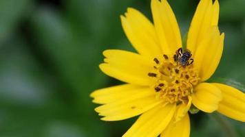 hoverfly sur petite fleur jaune