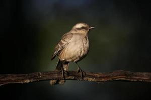 Chalk-browed mockingbird, Mimus saturninus, photo