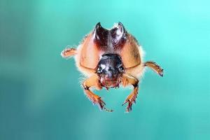 Brazilian Beetle photo
