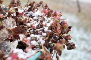 flor con la nieve, colorado foto