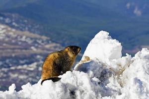 Marmot seen on the top of Mt Evans