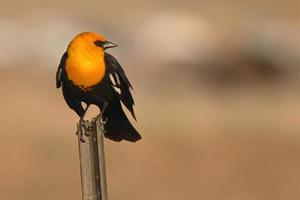Yellow-headed Blackbird Perched
