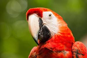 Portrait of Scarlet Macaw parrot