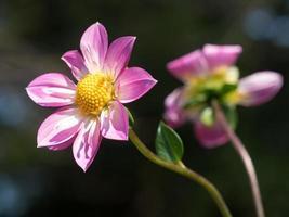 hermosa dalia rosa foto