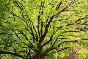 cypress tree crown