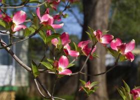 Red Dogwood Blossoms - Cornus florida photo